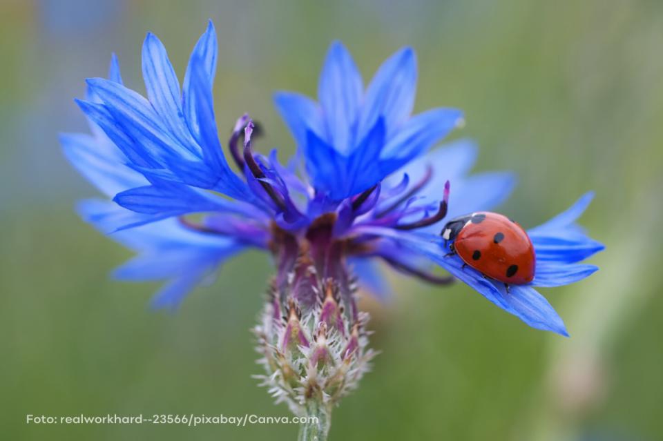Heimische Pflanzen und Tiere schützen: Marienkäfer auf Kornblume